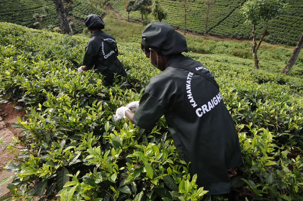 School of Tea 2012, Sri Lanka - Session 2 - Plantation Visit