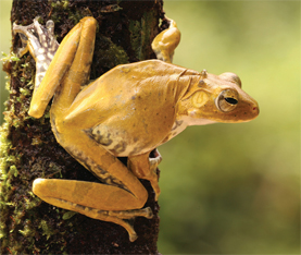 Facilitating Discovery of New  Amphibian Species