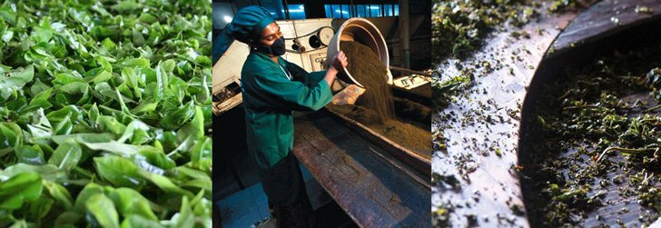 Manufacturing of Real Leaf Tea