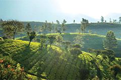 Why is Ceylon Tea Different